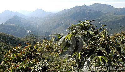 plantation-de-café-guatemala-5374656